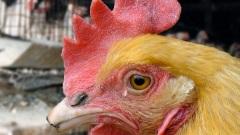 חיי תרנגולת