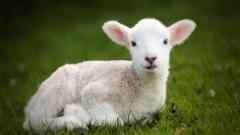 lamb - הפרדת טלה
