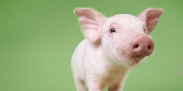 חזירים - הסיפור האמיתי